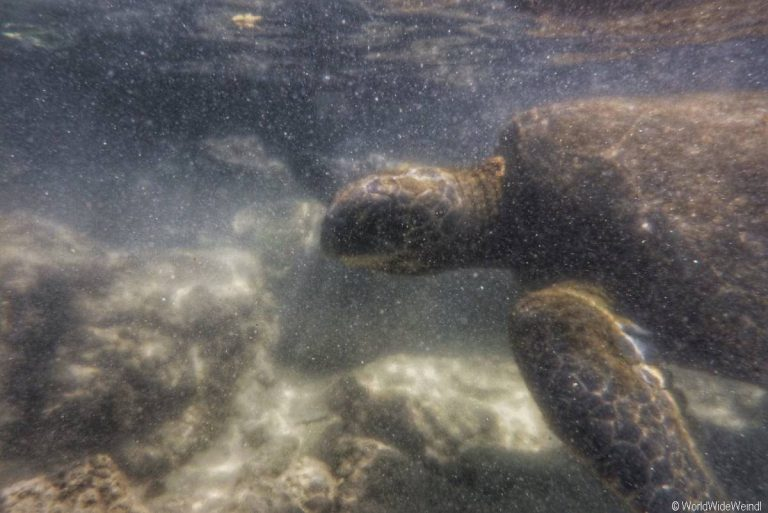 Big Island 86- Carlsmith Beach Schildkröte