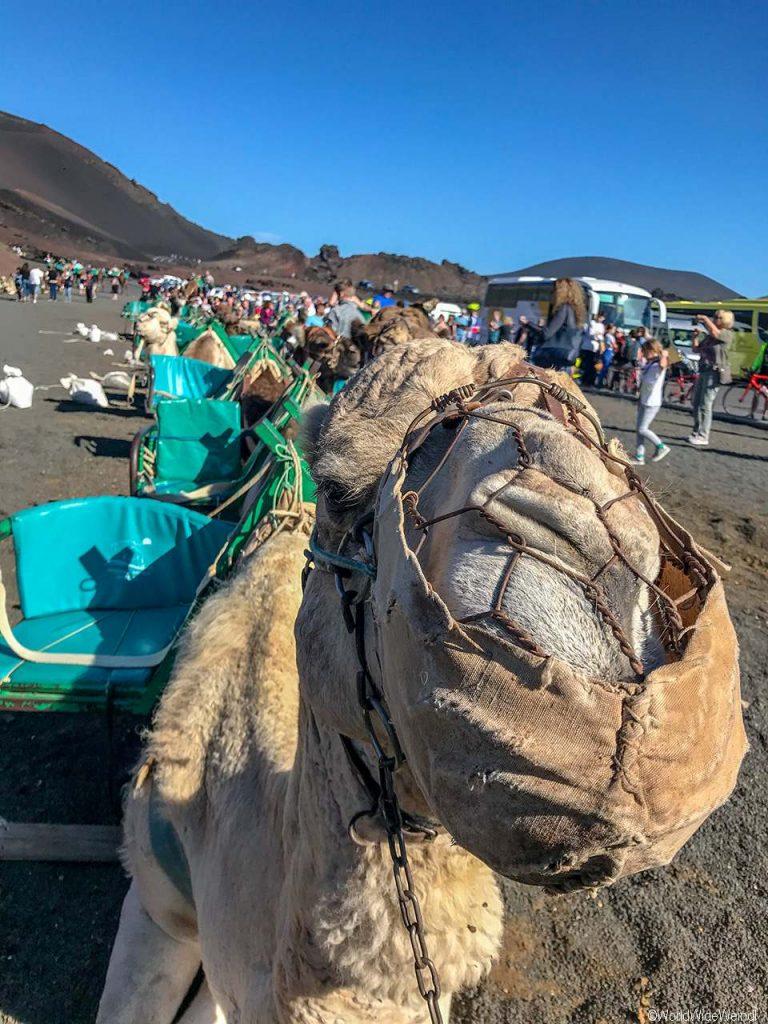 Lanzarote 409, Nationalpark Timanfaya, Dromedarstation