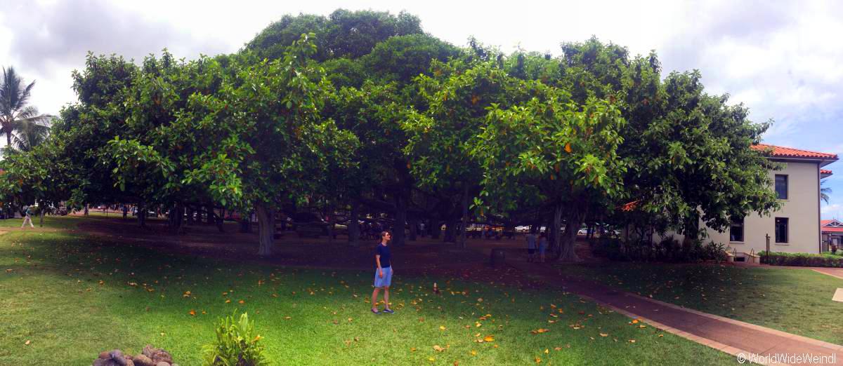Maui 20- Lahaina, Banyan Tree 2