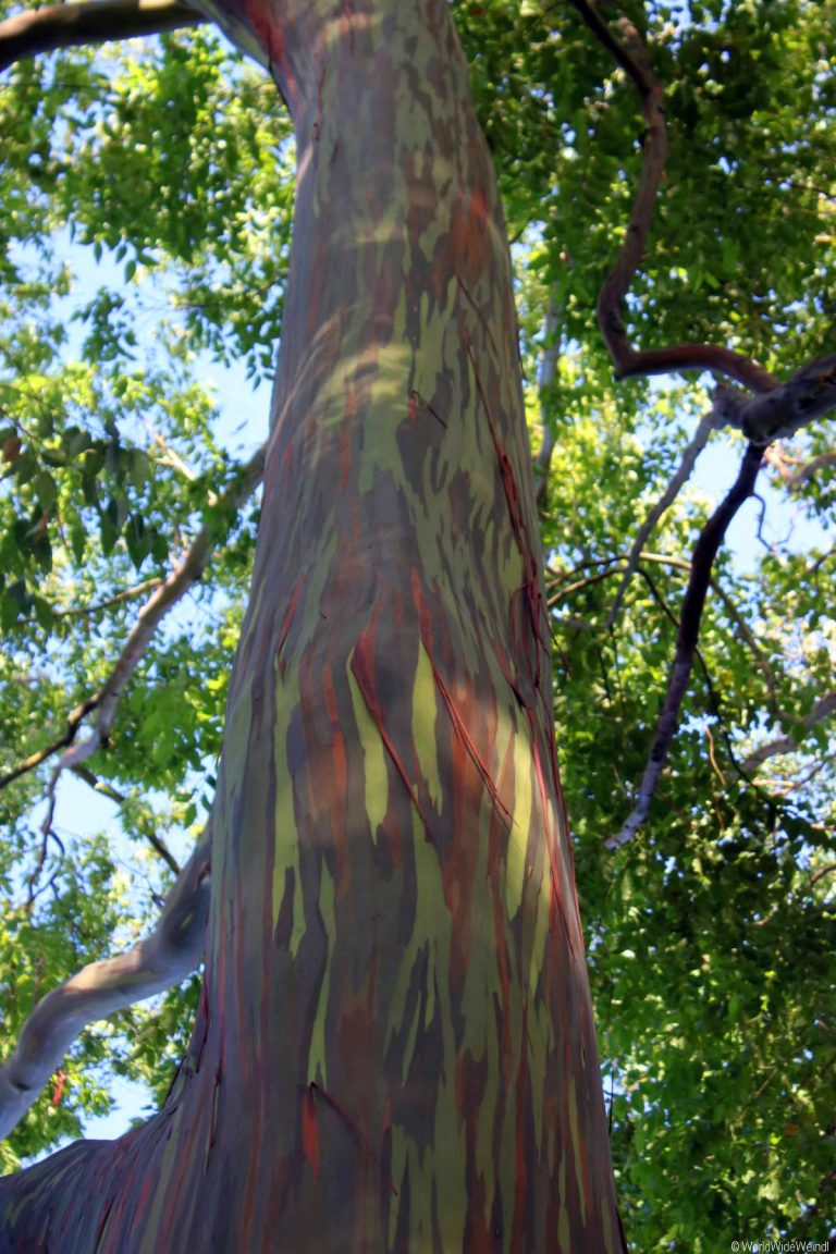 Maui 205- Road To Hana, Regenbogen Eucalyptus 1