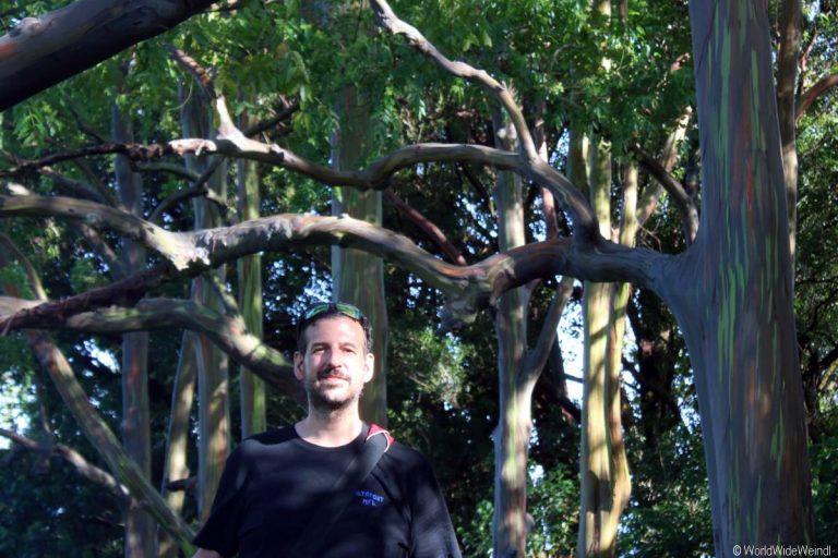 Maui 210- Road To Hana, Regenbogen Eucalyptus 2