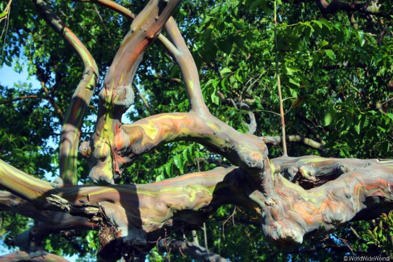 Maui 215- Road To Hana, Regenbogen Eucalyptus 3