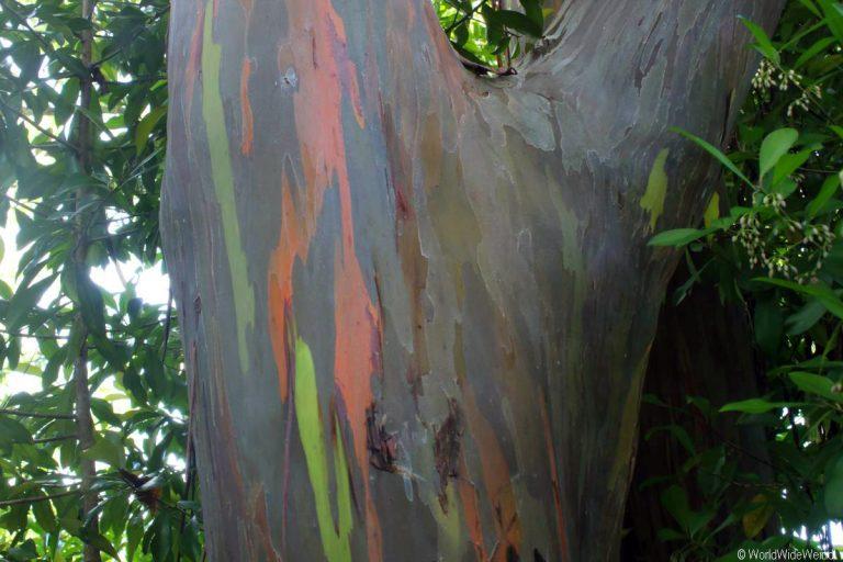Maui 240- Road To Hana, Regenbogen Eucalyptus 9