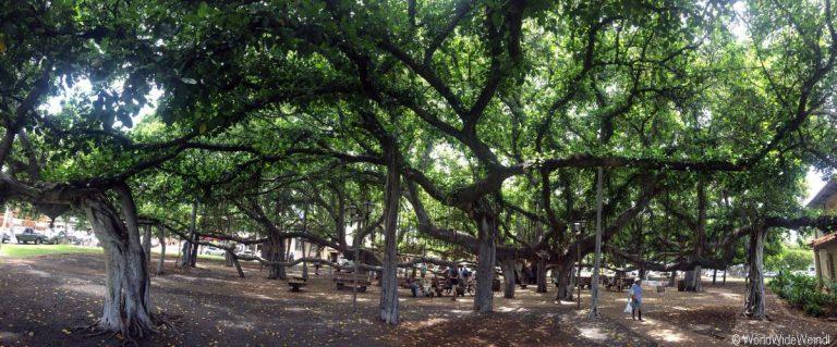 Maui 25- Lahaina, Banyan Tree 3
