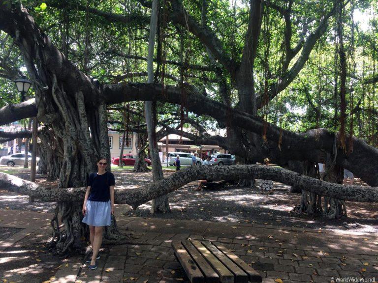 Maui 30- Lahaina, Banyan Tree 4