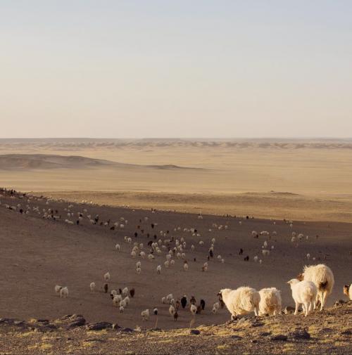 Cashmere geder fra Indre Mongoliet