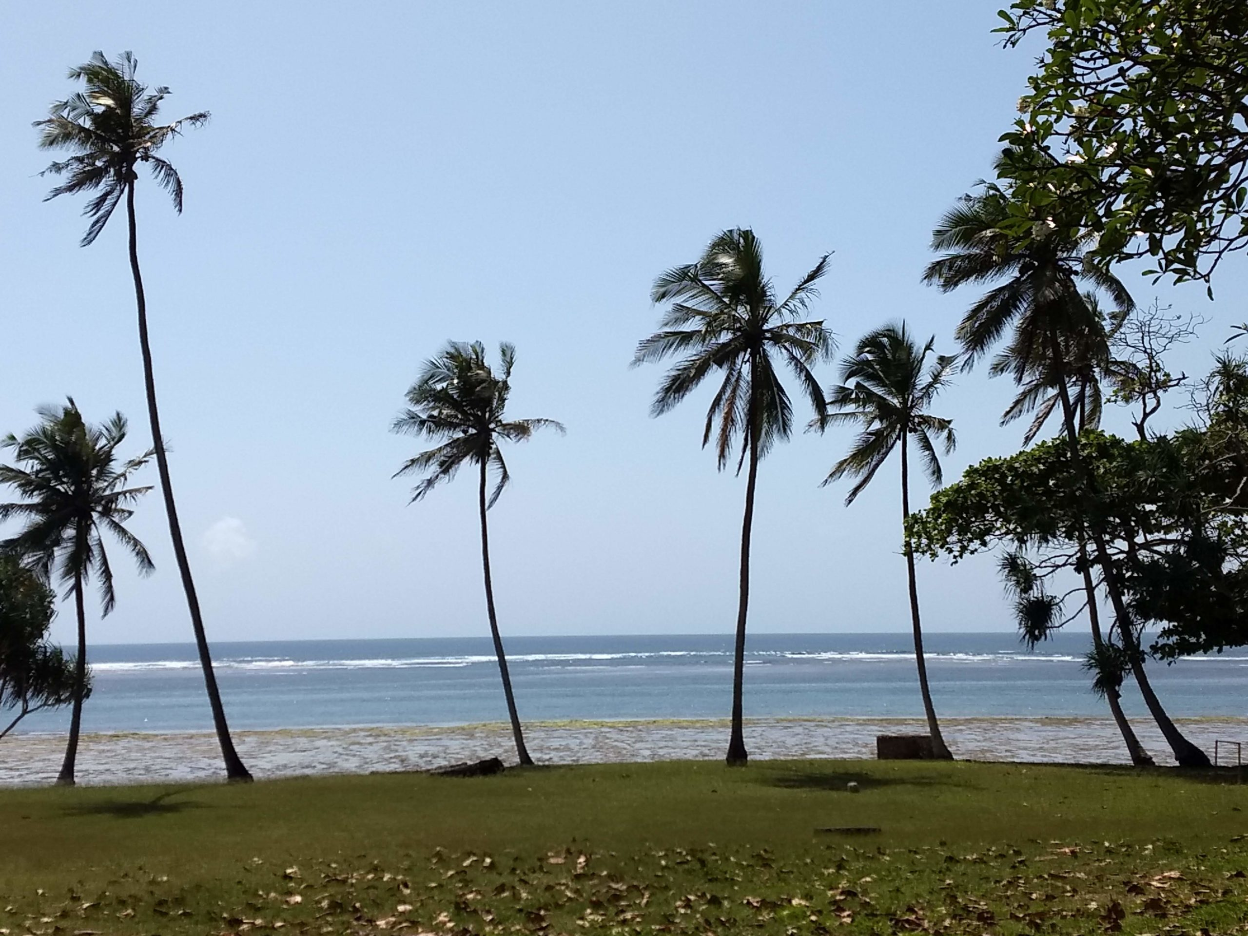 Diani Beach - Coconut trees