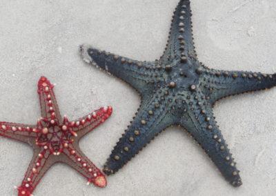 Funzi Island - Starfish