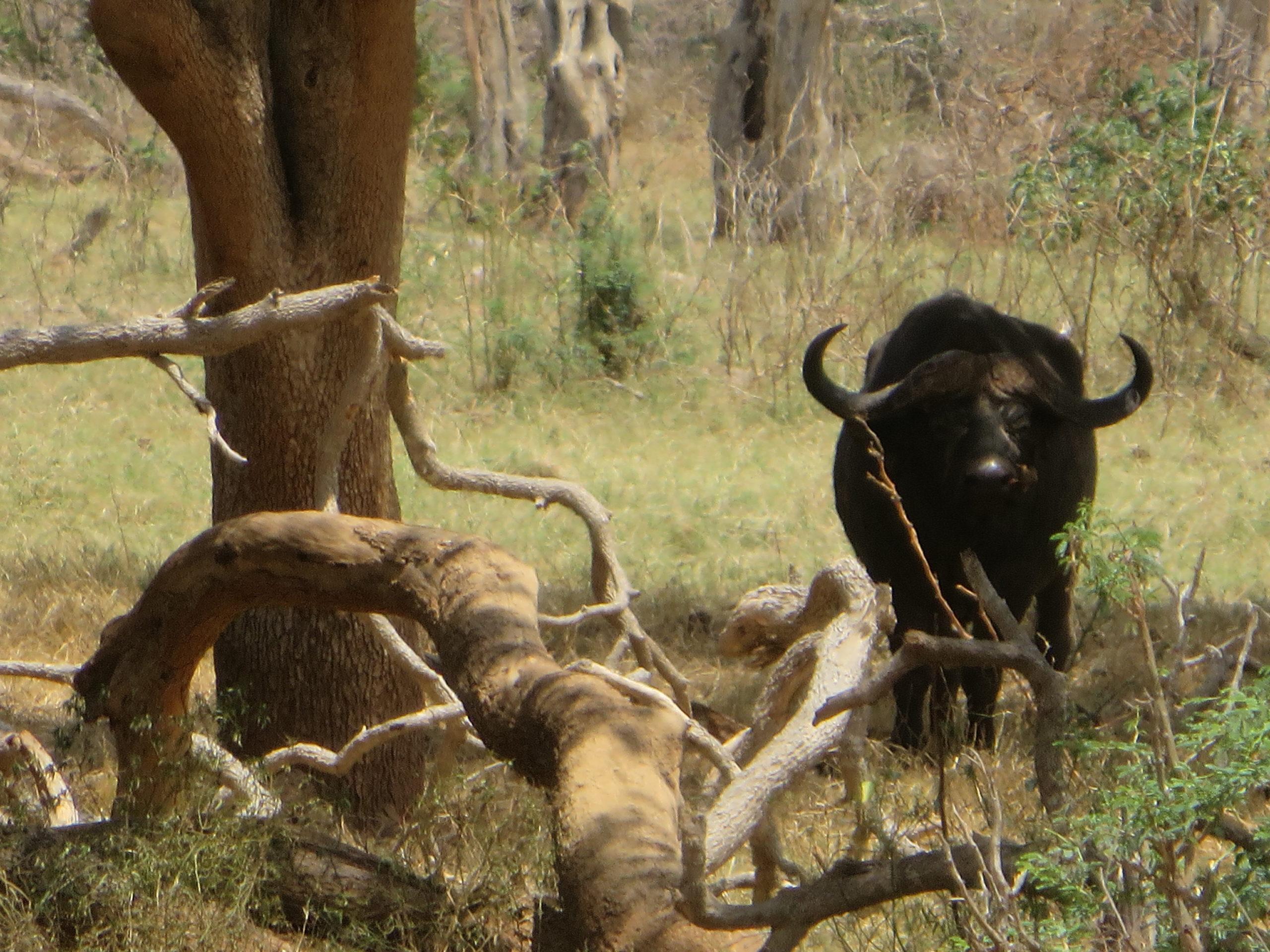 Tsavo East - Buffalo