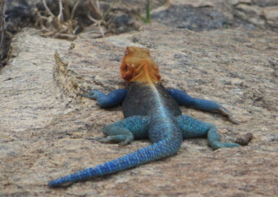 Tsavo East - Lizard