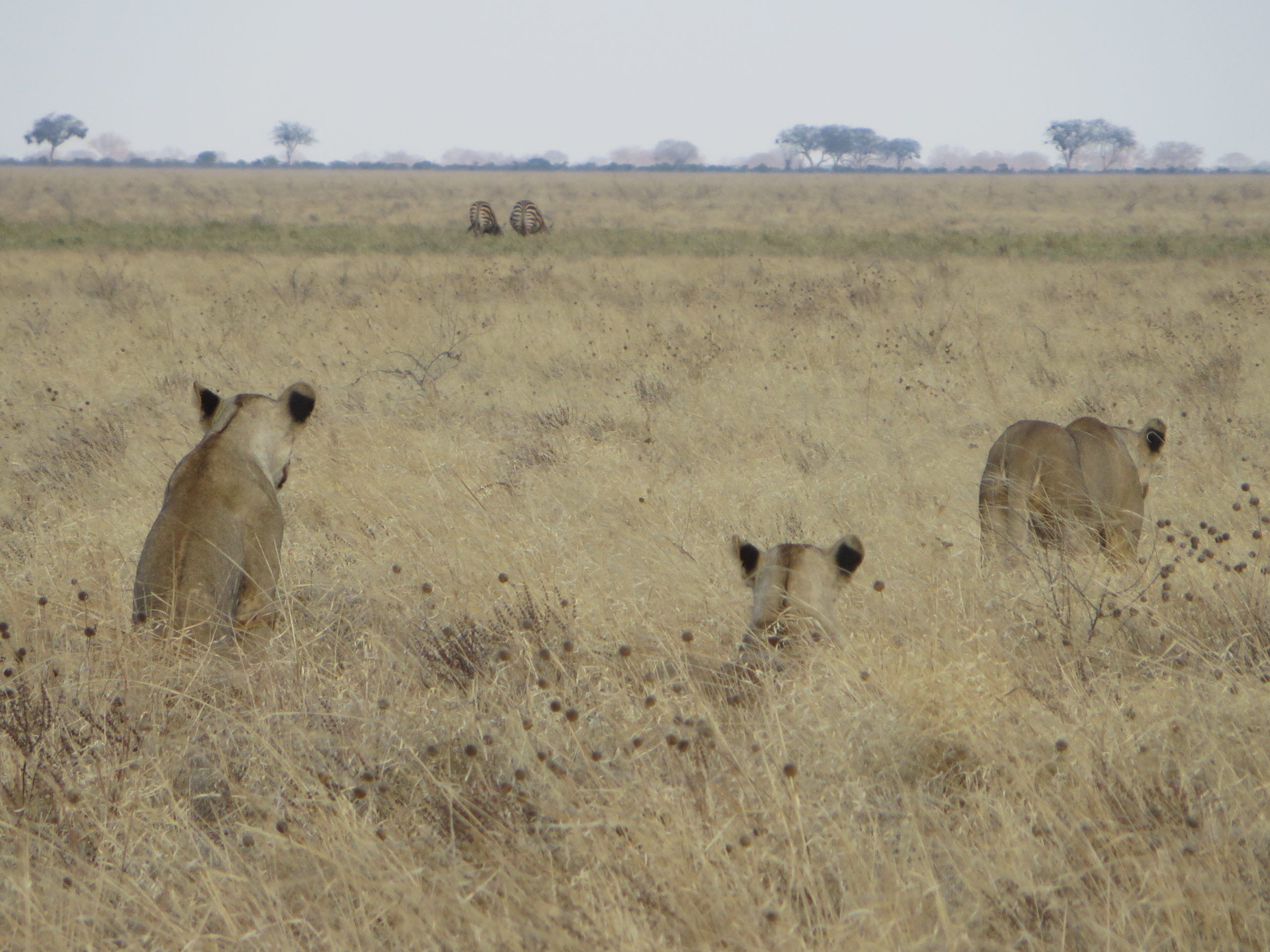 Tsavo East - Lions watching their prey