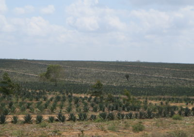 Sisal plantation - View