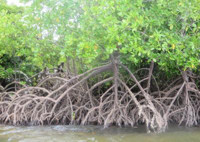 Funzi Island - Mangrove