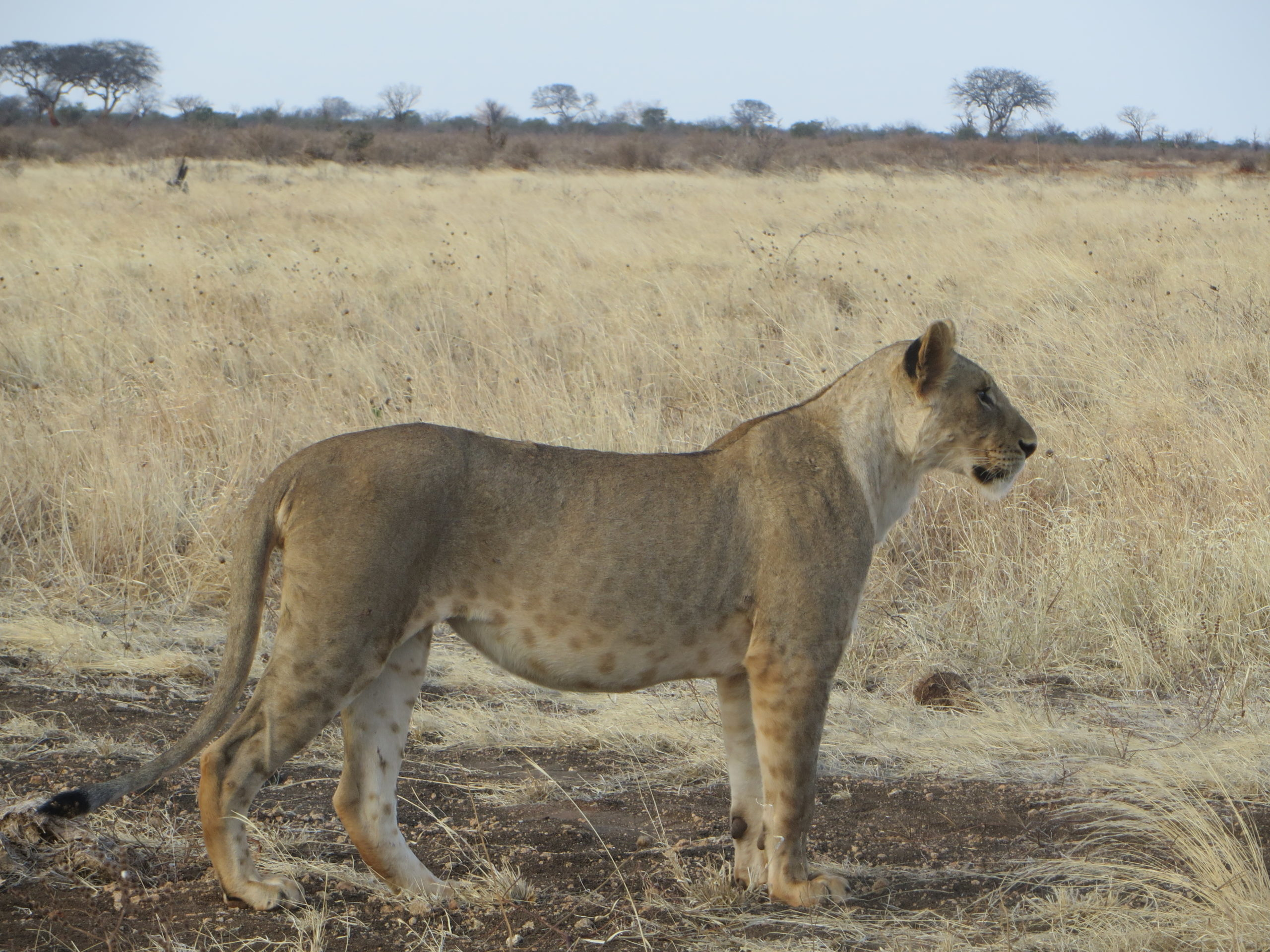 Tsavo East - Lion