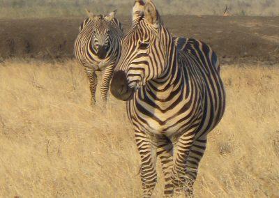 Tsavo East - Zebra
