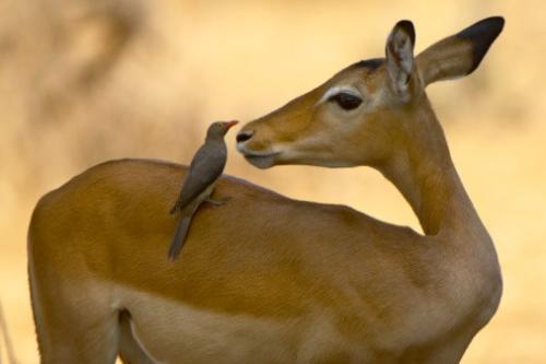 Impala Photo Taken by our Tanzania Safari Experts