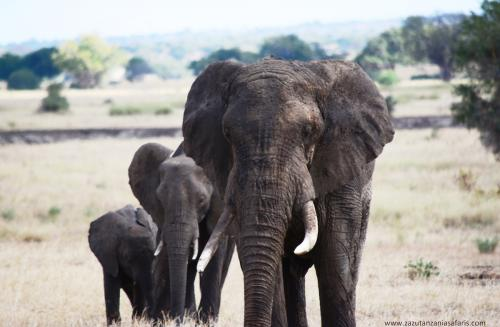 Elephants Grazing in Tarangire National Park