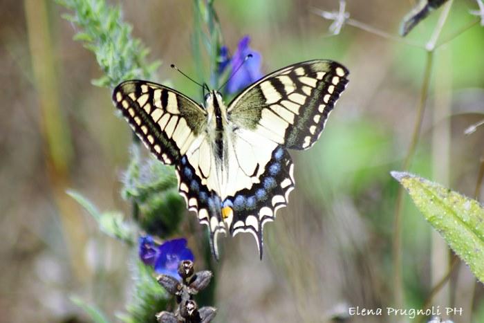 Papilio machaon - farfalla Macaone - le farfalle