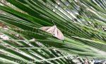 castnide delle palme